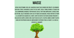 Arbre malade Maisse